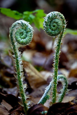 Fiddleheads 2