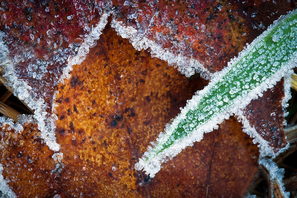 Brown leaf frost