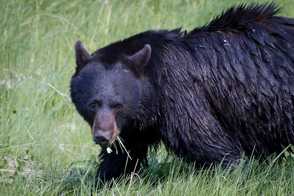 I can't tell exactly what was on the menu, but it wasn't the grass; he did eat some, but there was a stemmed plant with leaves that  was his main munch...