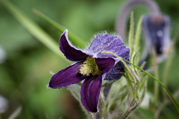 This is a  Sugarbowl, also known as Hairy Clematis.