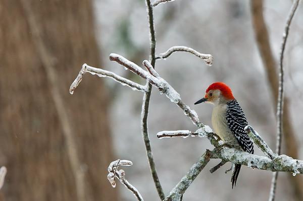 Hungry woodpeckers like birdseed in harsh winter weather.